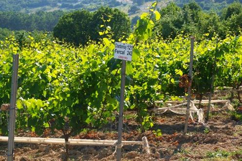 Weinberge von Poyrali (Parpara)