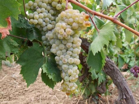 Yapıncak grape