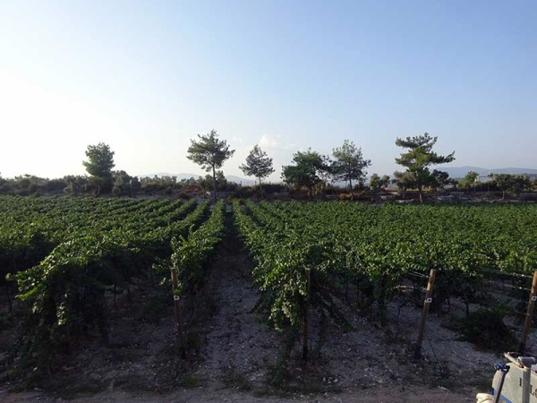 Vinbodrum's vineyards